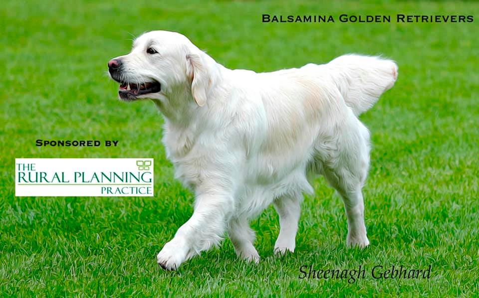 Balsamina Golden Retrievers